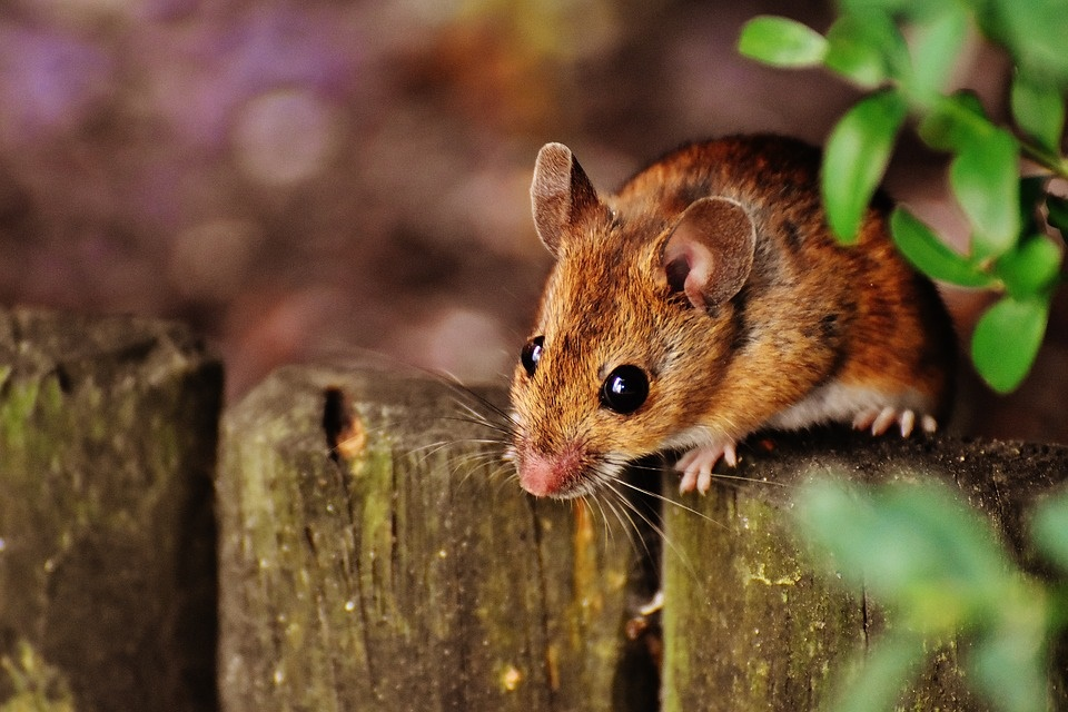 Field Mouse icon