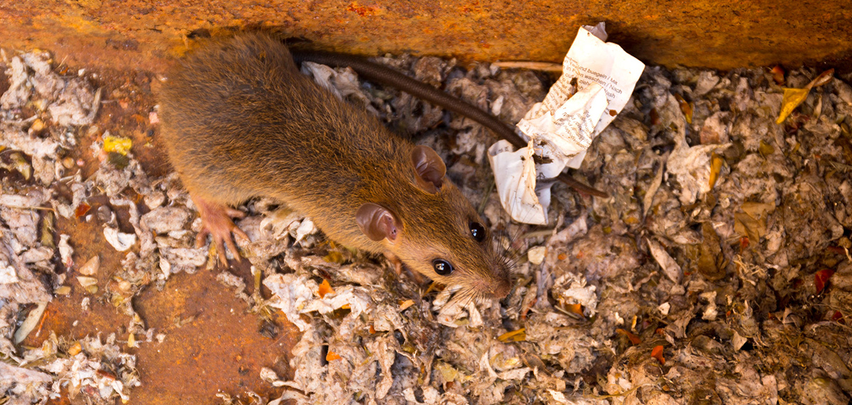 Rat around food pest control and the law legislation article PPC online