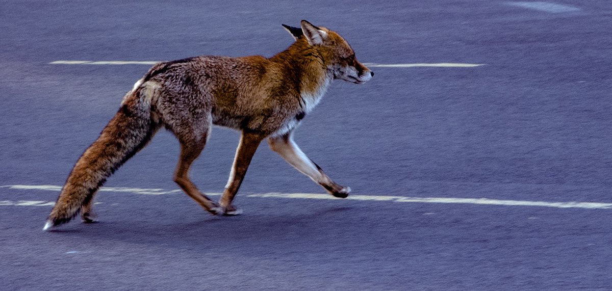 Urban fox crossing the road wildlife management articles and news pest controller magazine